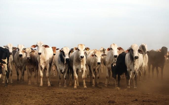 Confira quais os principais cuidados pós-cirúrgicos com bovinos